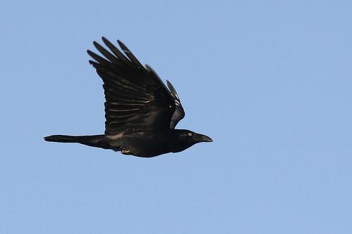 Er-blog-raven-in-flight
