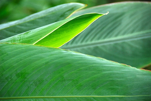 Emerging-leaf-2